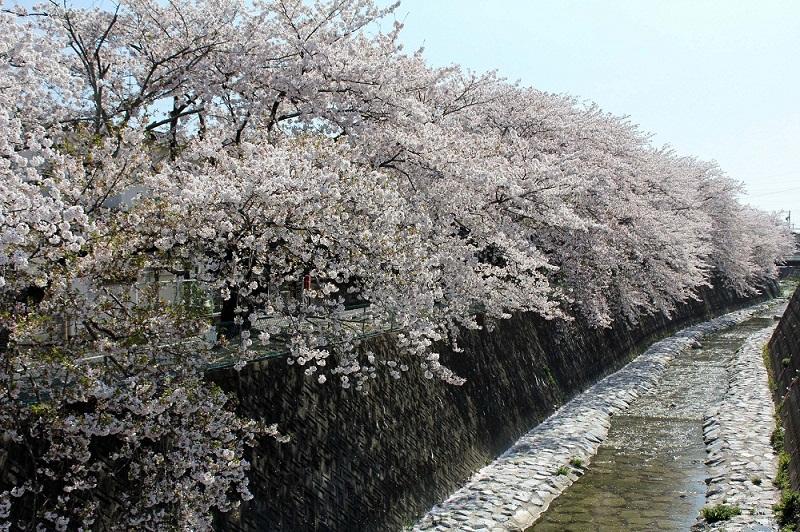 桜_長坂緑地