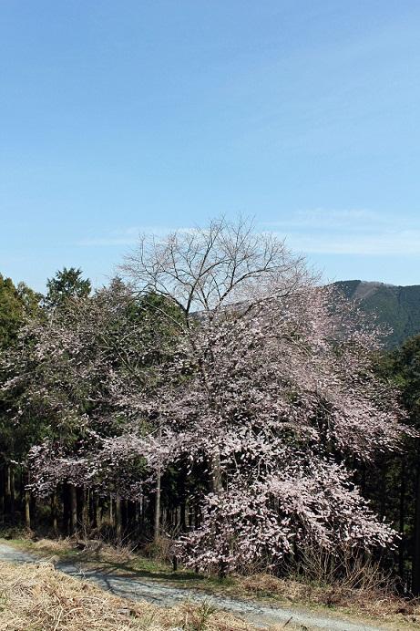 桜_富幕の東明桜