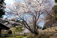 桜_奥山高原