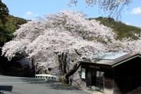 桜_奥山休憩所