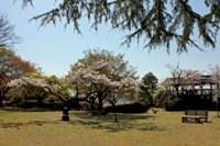 桜_鳥羽山公園